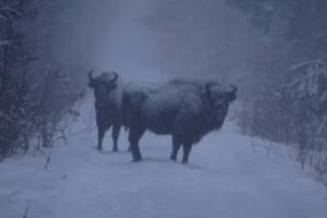 Żubry zimą, fot. Piotr Wawrzyniak