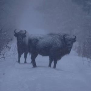 Żubry zimą na drodze
