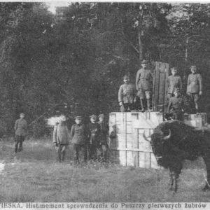 Pierwszy wypuszczony żubr, fot. archiwum Białowieskiego Parku Narodowego
