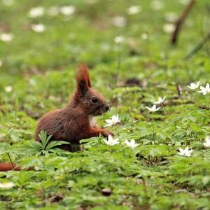 Wiewiórka - fot. Archiwum RDLP w Białymstoku