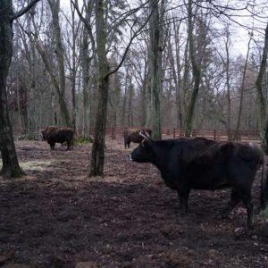 Rezerwat Pokazowy Żubrów, fot. Klaudia Formejster