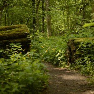 Drzewa pozostawiane do naturalnego rozkładu, przecinane jedynie na szlaku