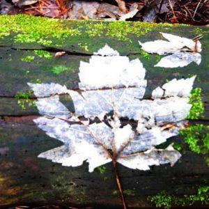 Rozkładający się liść klonu, fot. Klaudia Formejster