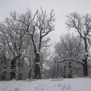 Dęby w Parku Pałacowym, fot. D. Buraczyński